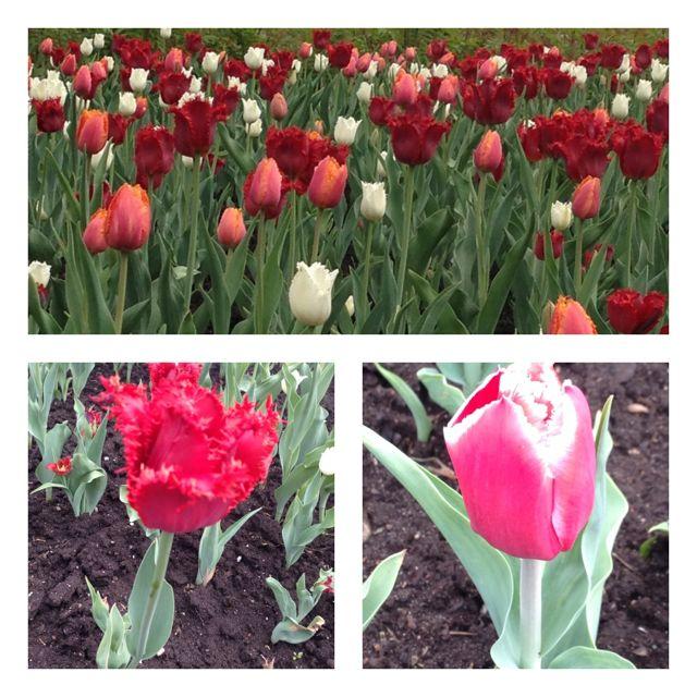 ottawa - tulip 3