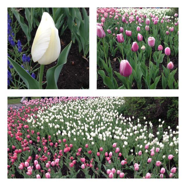 ottawa - tulip3b