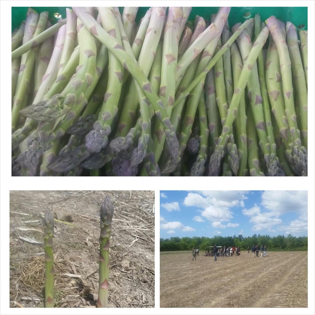 asparagus - farm
