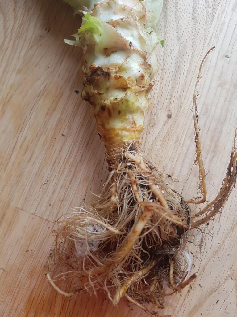 salad - root
